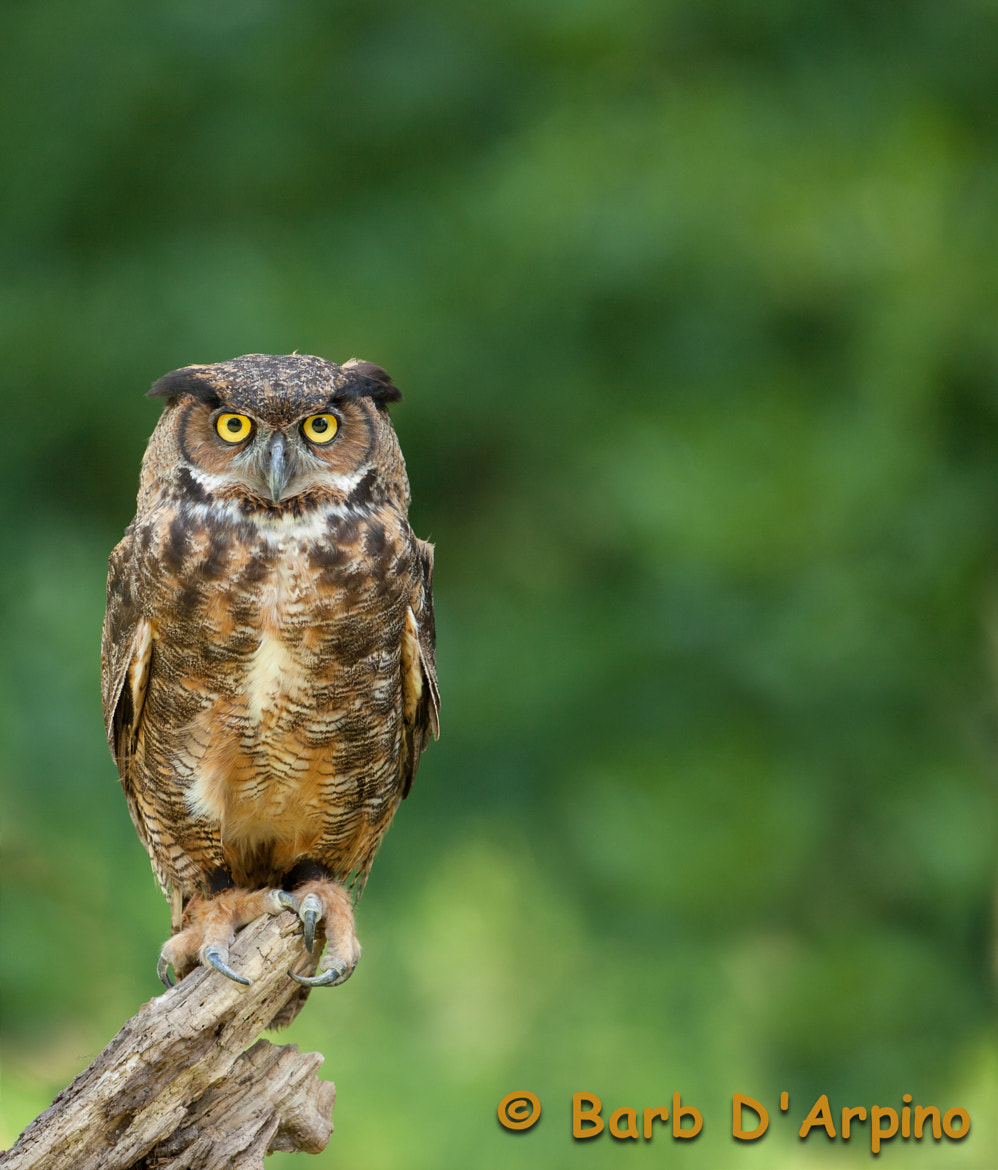 Photograph I'm a hoot ;) by Barb D'Arpino on 500px