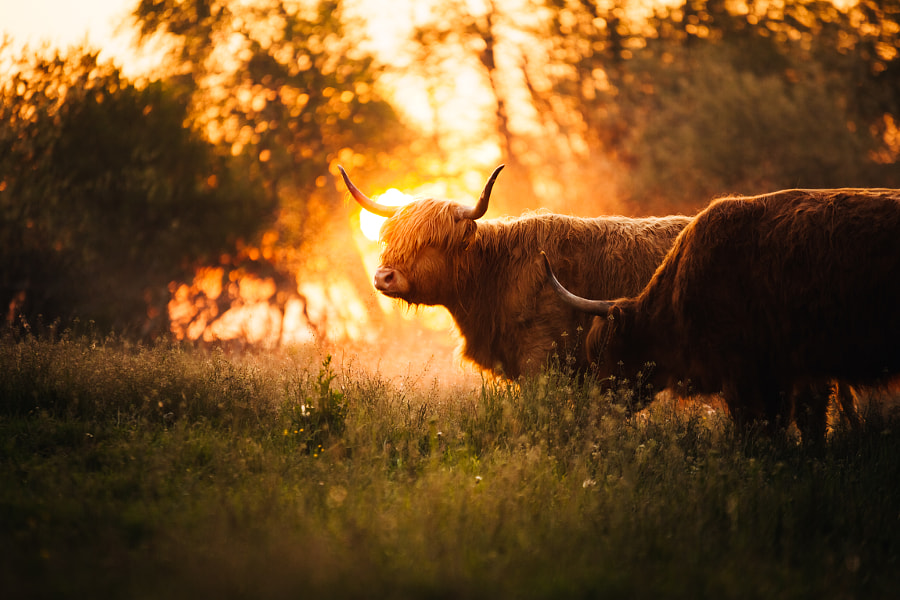 Highland Cows by marina weishaupt on 500px.com