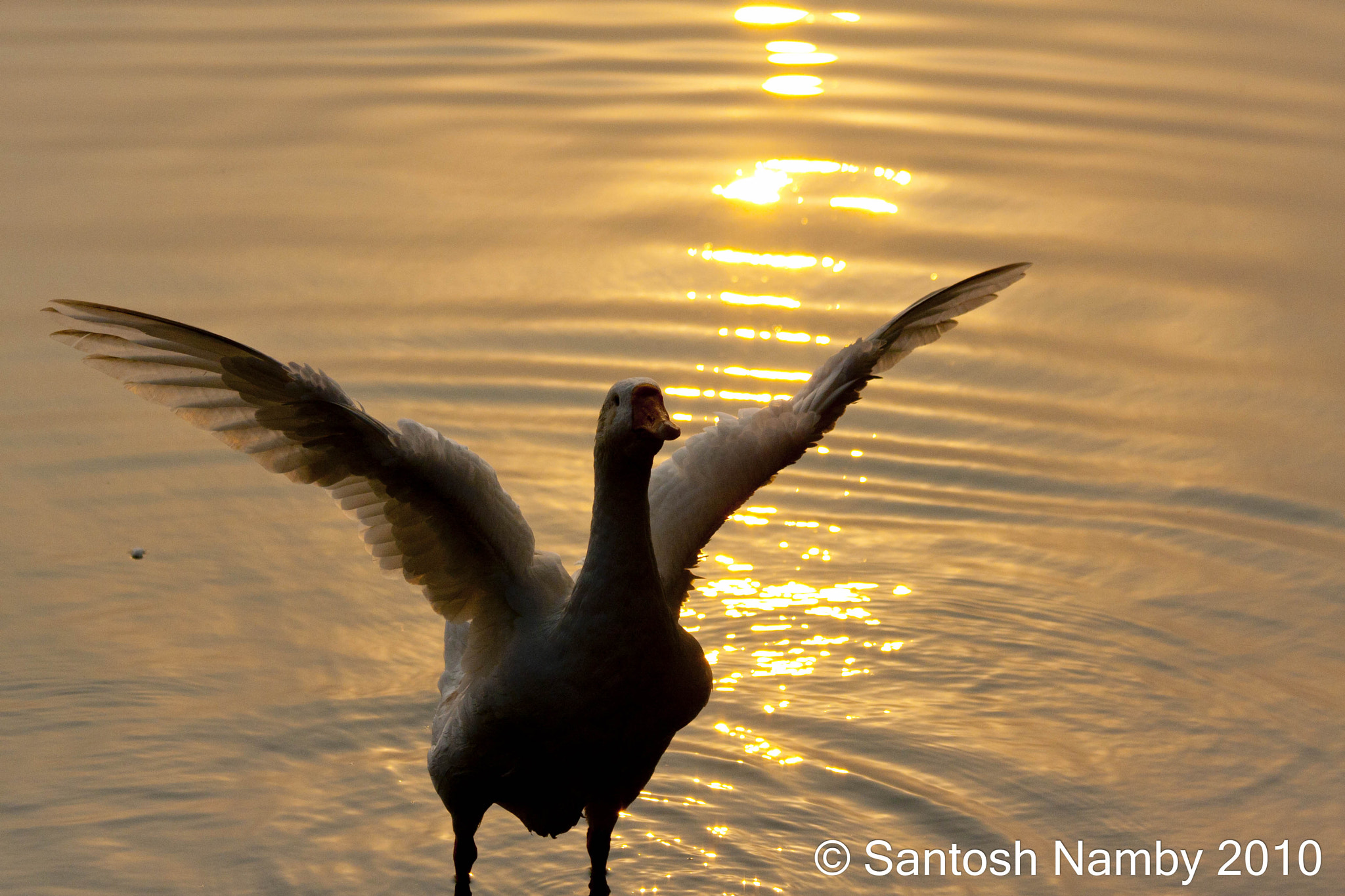 Photograph Golden goose.... by Santosh Namby on 500px