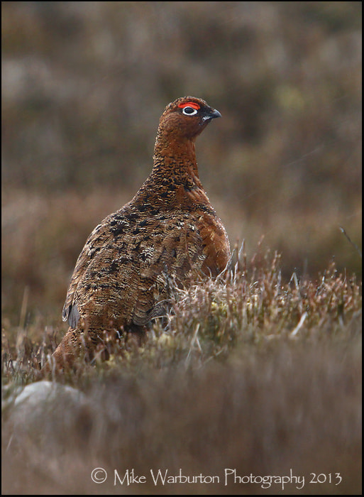 Photograph Red Grouse by Mike Warburton on 500px