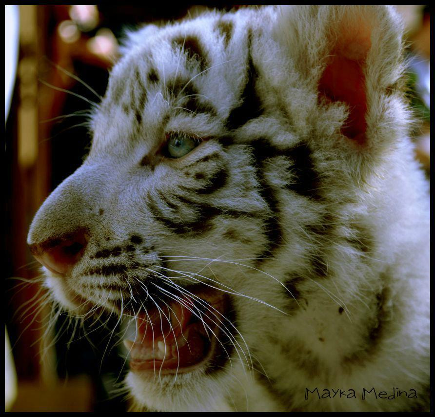 Photograph Tigre (albino) by Mayka Medina on 500px