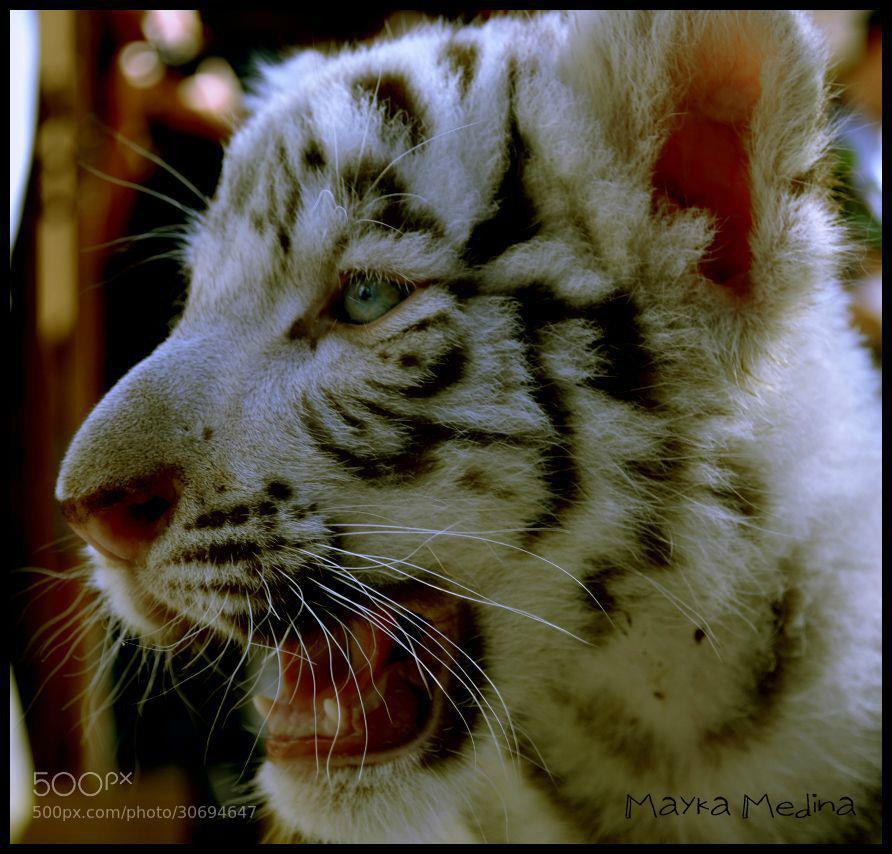 Photograph Tigre (albino) by Mayka Medina on 500px