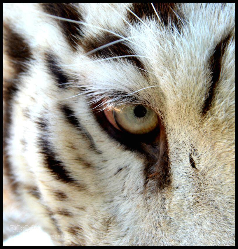 Photograph La mirada del Tigre  by Mayka Medina on 500px
