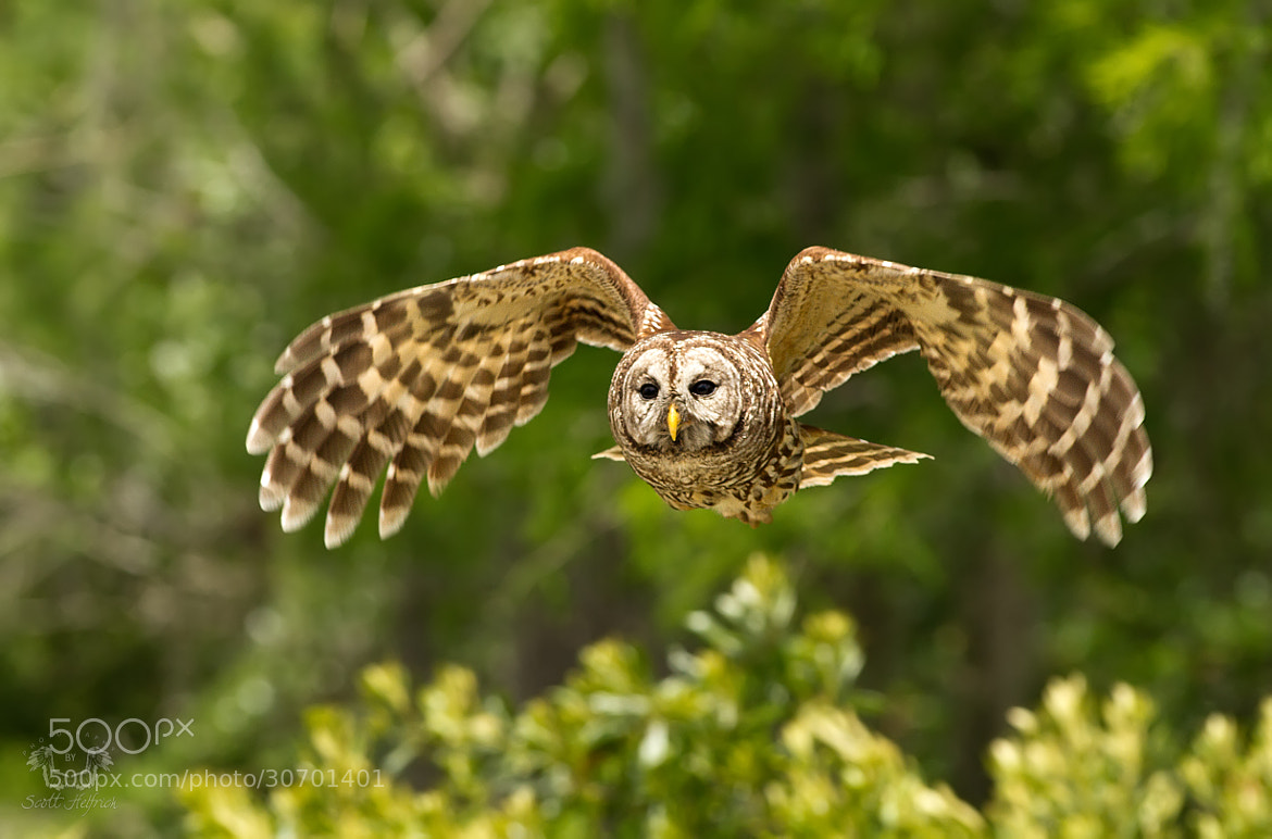 Photograph Barred Owl In Flight by Scott Helfrich on 500px