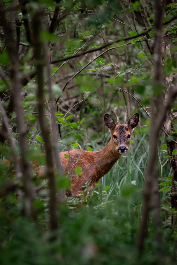 Roe in the Woods by Murray Adcock on 500px.com