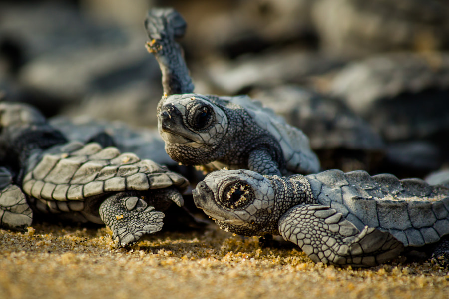 Baby sea turtles struggle for survival after hatching in Mexico by Robert Eastburg on 500px.com