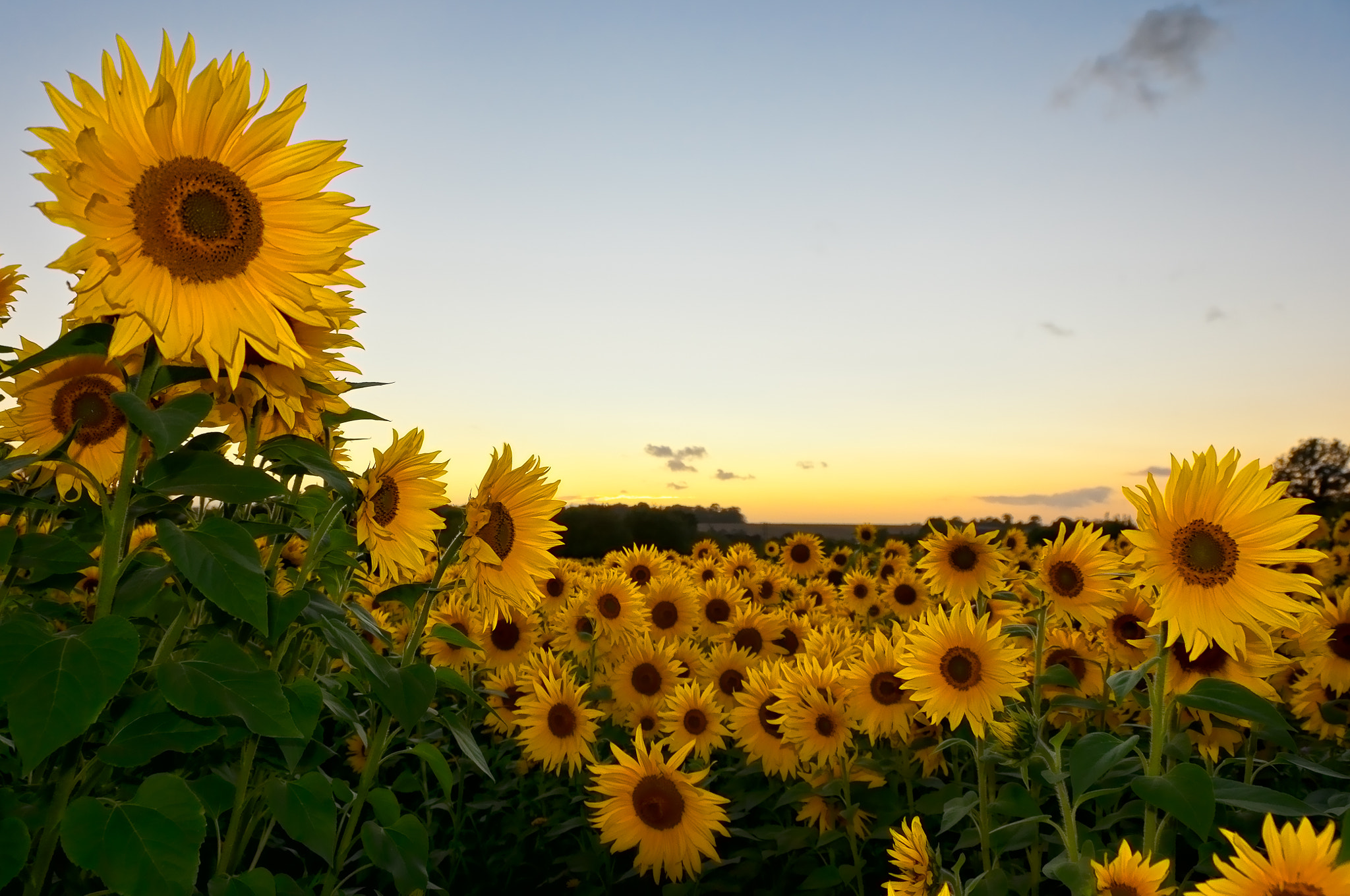 Photograph Sunflowers by toby haskins on 500px