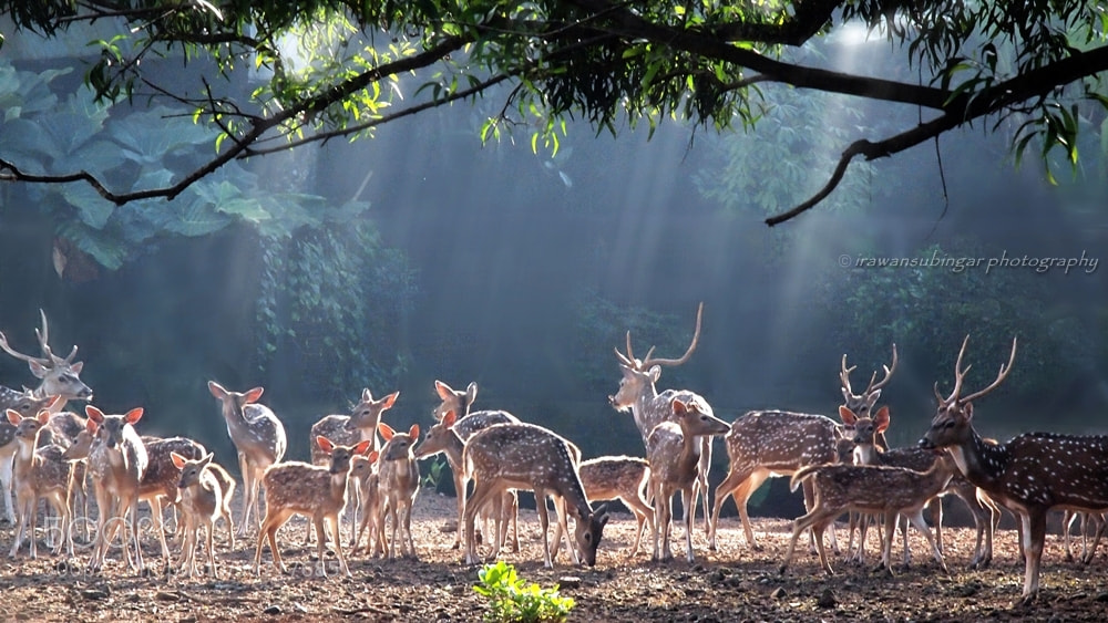 Photograph the Chital deers by Irawan Subingar on 500px