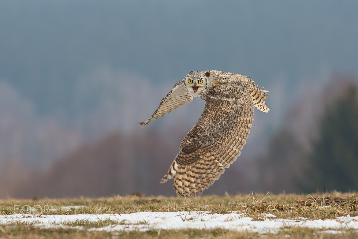 Photograph Great Horned Owl by Milan Zygmunt on 500px