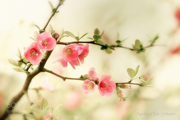 Photograph Cherry Blossom  by Marion Olde Scheper on 500px