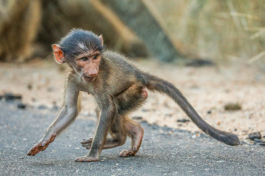 Chacma Baboon by Assaf Goldberg on 500px.com
