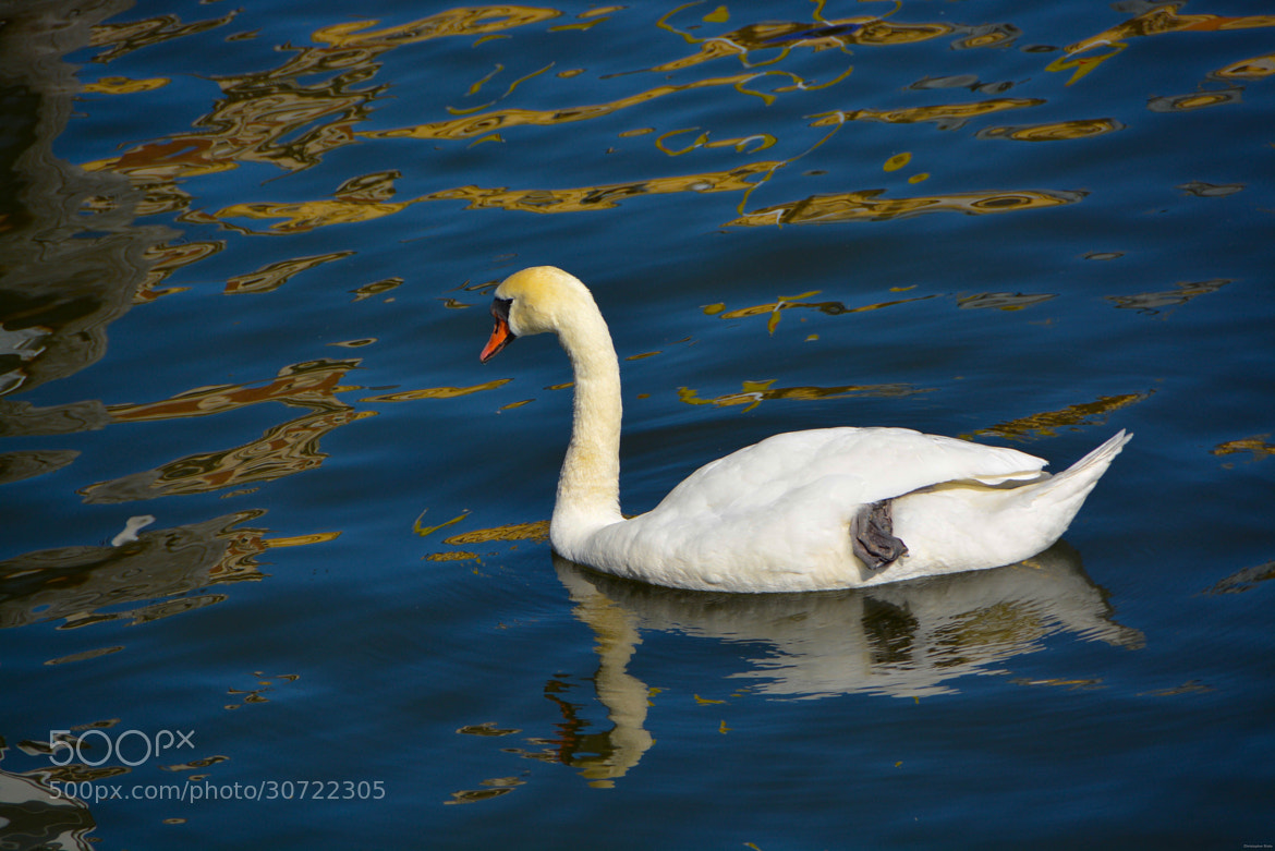 Photograph Swan by Christopher State on 500px