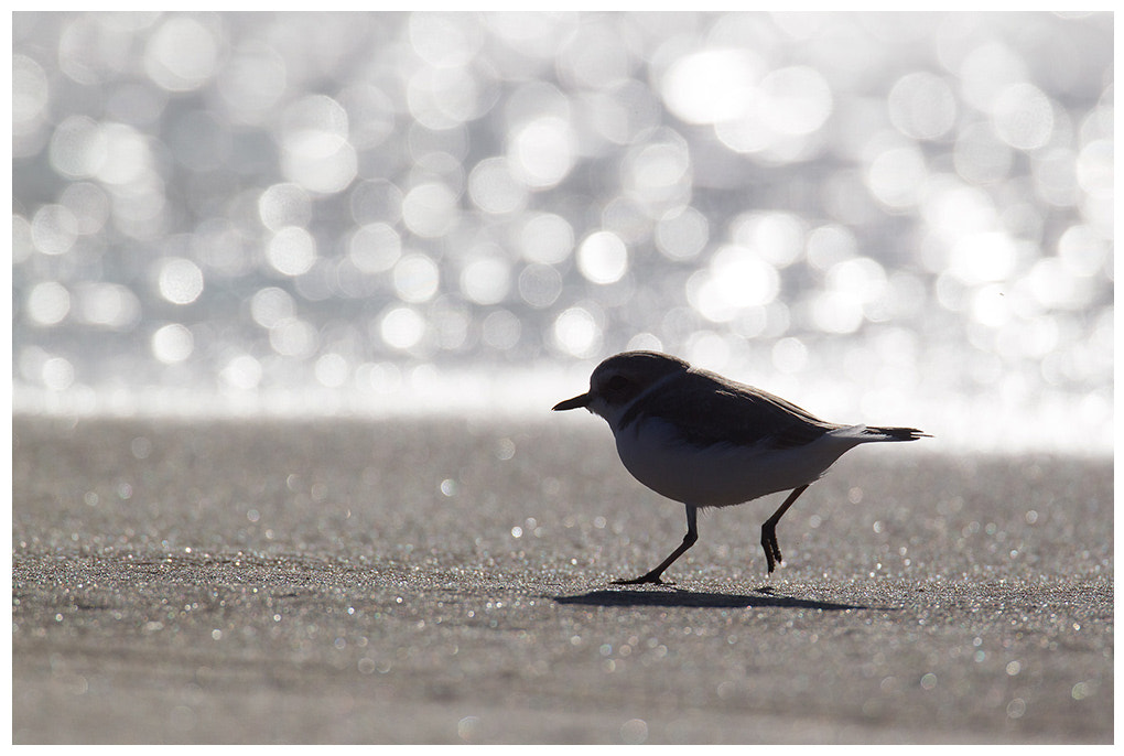 Photograph Snowy Plover running along the surf by Daniel Pettersson on 500px