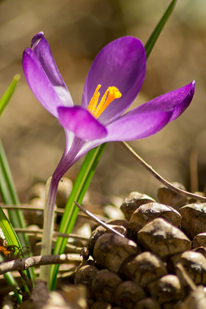Photograph First crocus of the year by Jan Hasenbichler on 500px