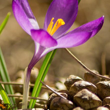 First crocus of the year