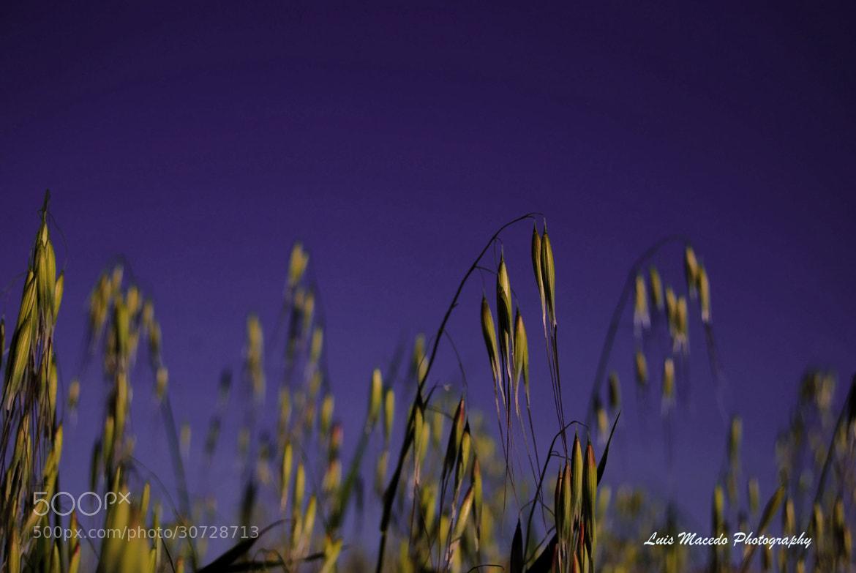 Photograph Golden Grain by Luis Pereira on 500px