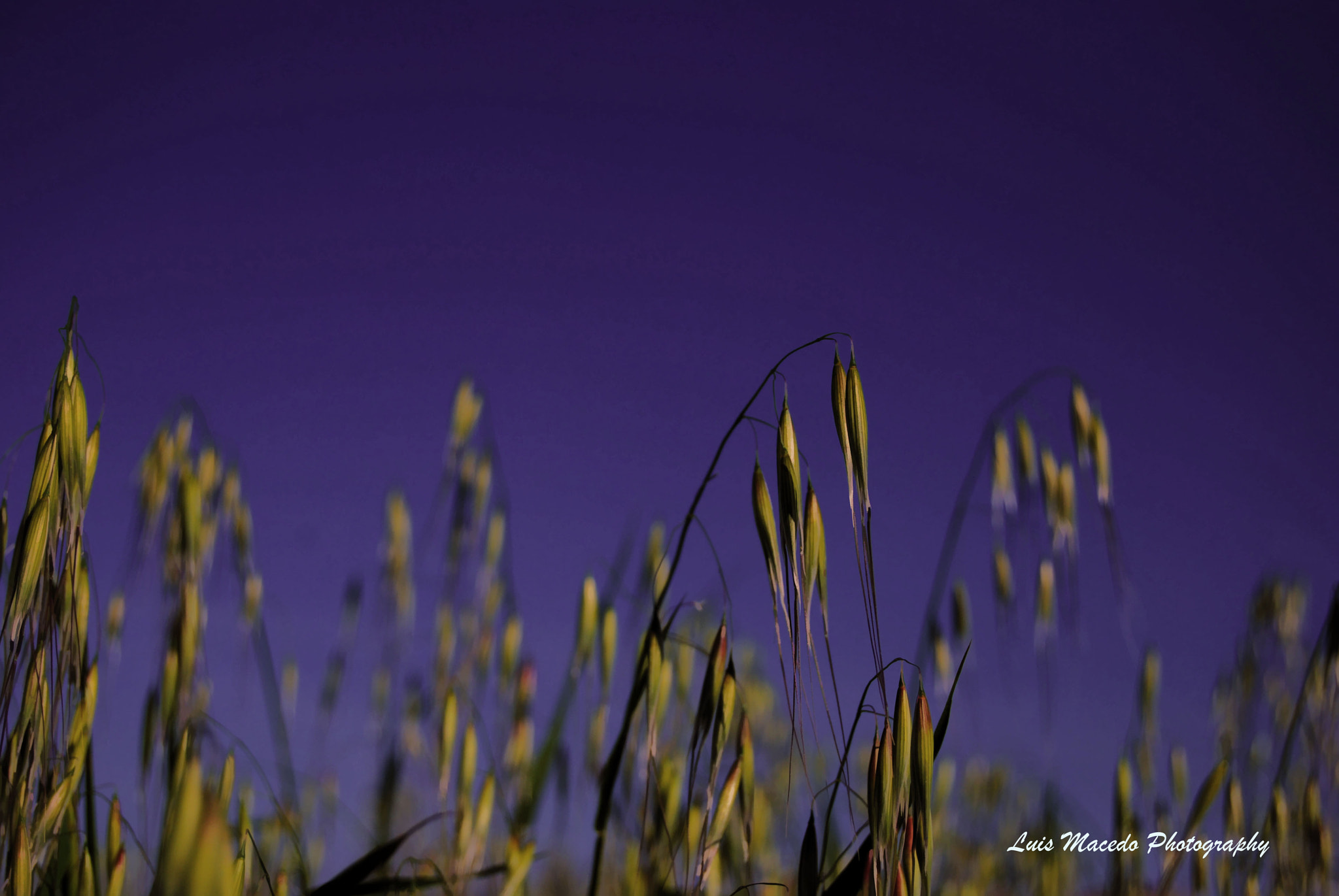 Photograph Golden Grain by Luis Pereira on 500px