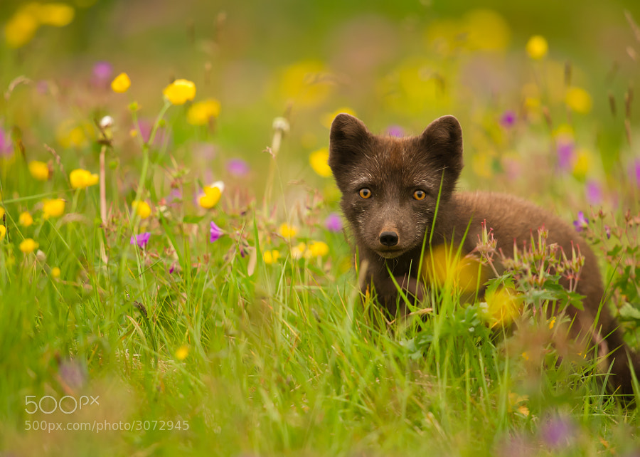 Photograph Arctic Fox by James Wright on 500px