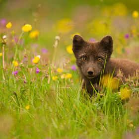 Arctic Fox by James Wright (jpbwright)) on 500px.com