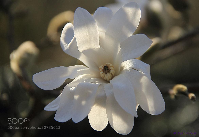 Photograph Magnolia Stellata by Eva Lechner on 500px