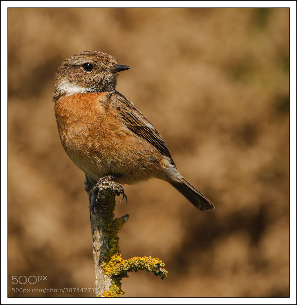 Photograph Female Stonechat by John Starkey on 500px