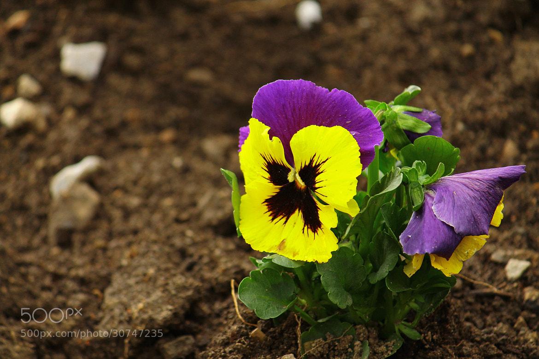 Photograph Viola tricolora by Rausch Wilhelm Robert on 500px