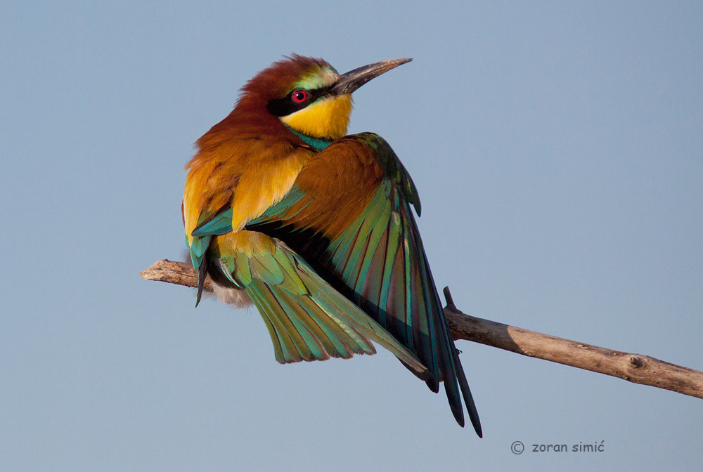 Photograph Merops apiaster (Bee- eater) by zoran simic on 500px