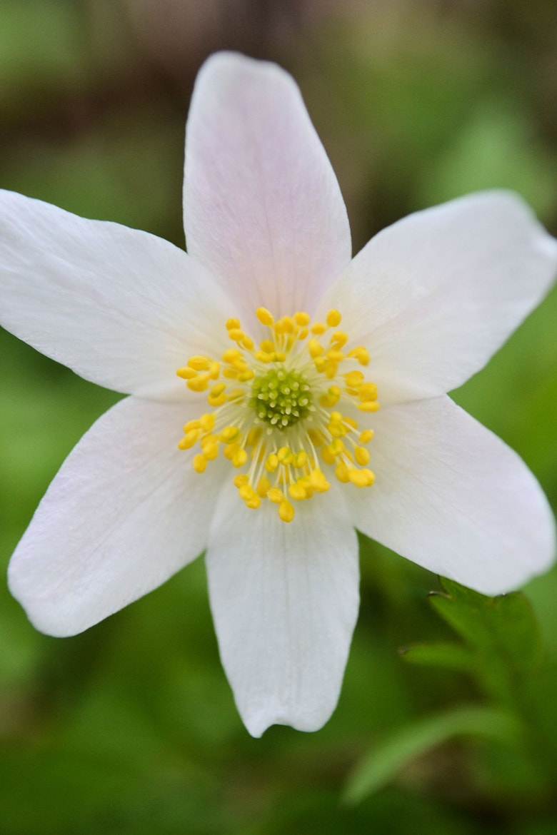 Photograph Thimbleweed by Heather Aplin on 500px
