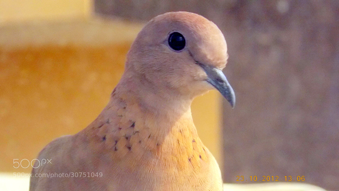 Photograph dove at my terrace by Mahmoud Akbar on 500px