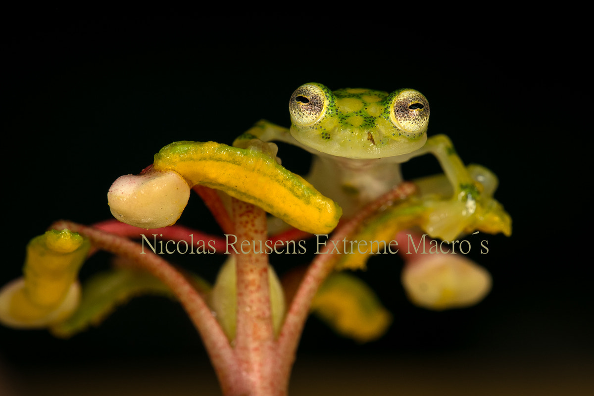 Photograph Glass Frog, Costa Rica by Nicolas Reusens on 500px