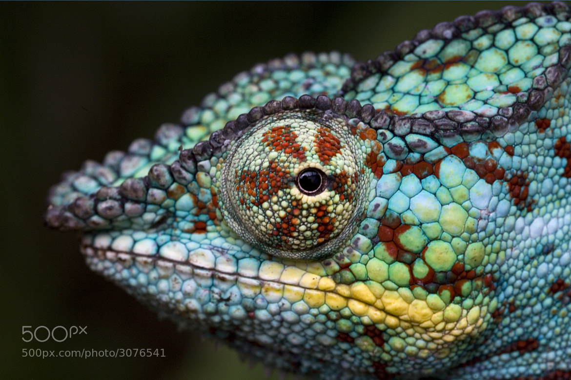 Photograph Panther Chameleon, Madagascar by Steve Shuey on 500px