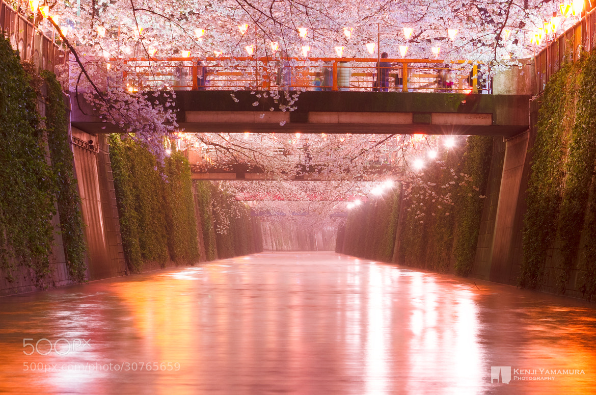 Photograph Cherry Blossoms River by Kenji Yamamura on 500px