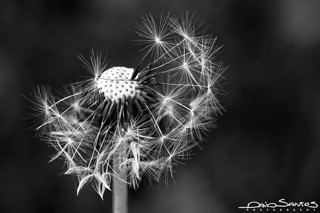 Photograph Old Dandelion  by David Santos Photography on 500px