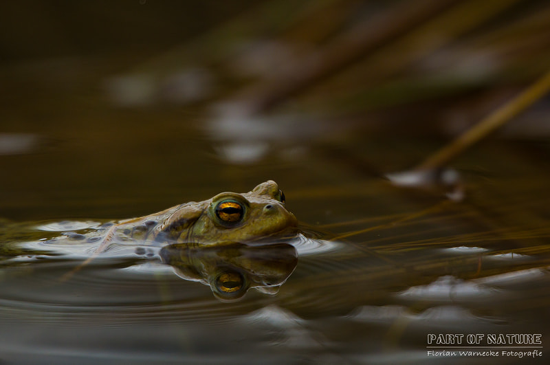 Photograph European toad by Florian Warnecke on 500px