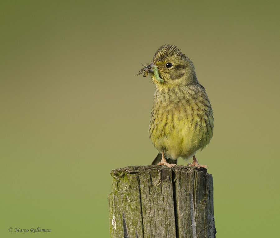 Photograph Yellowhammer by Marco Rolleman on 500px