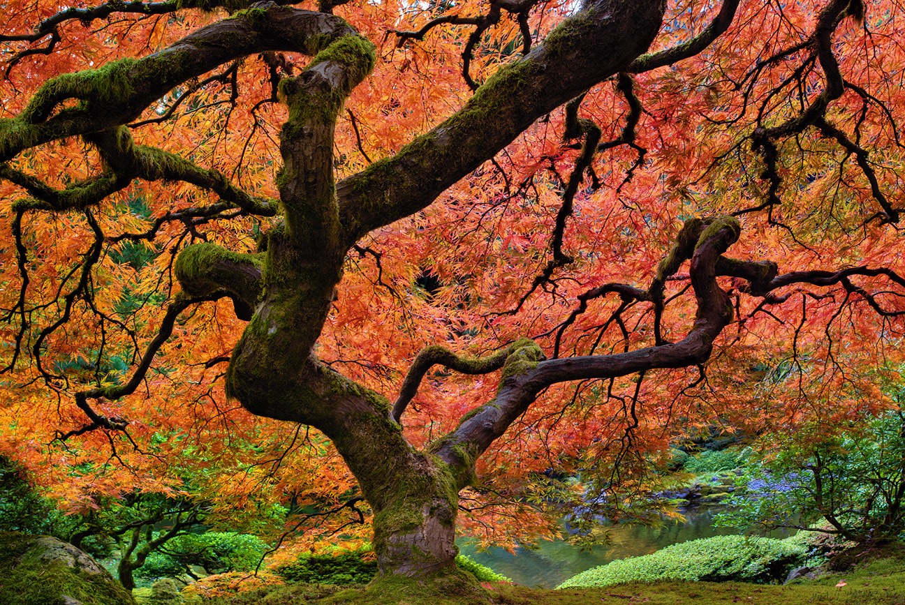 Photograph Japanese Maple Tree in Fall by David Gn on 500px