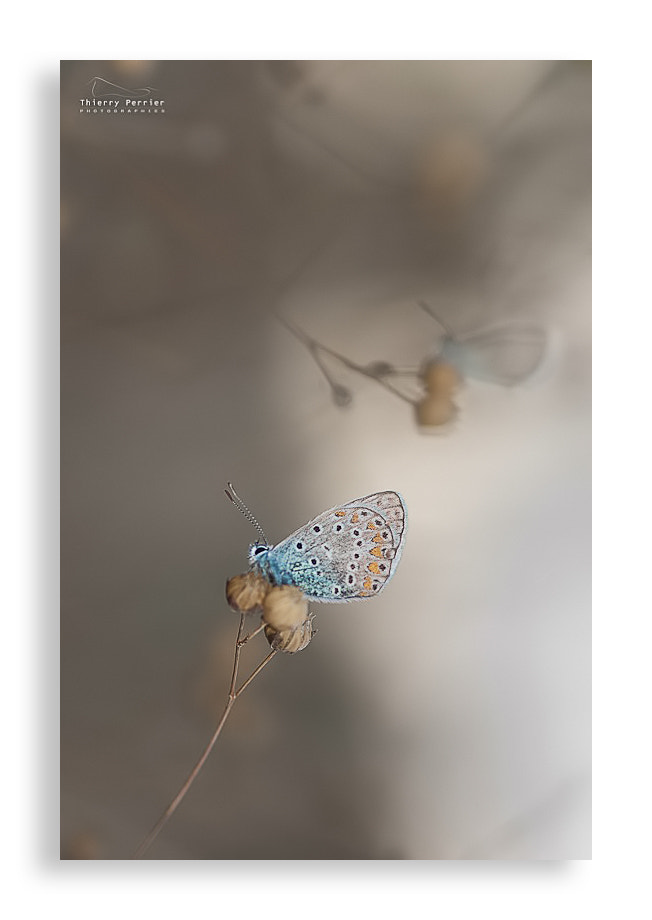Photograph Azuré Butterfly by Thierry Perrier on 500px