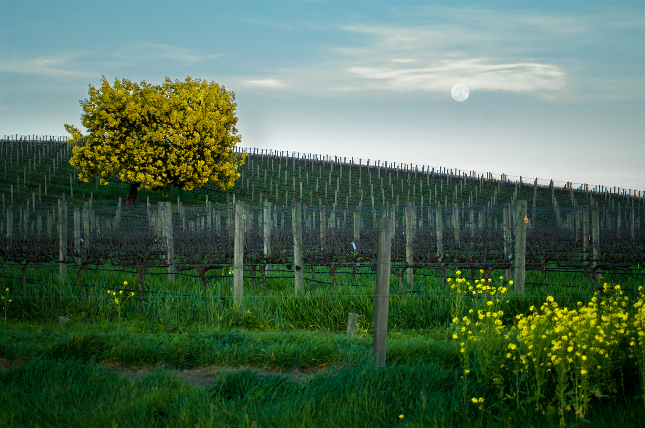 Photograph Acacia tree at moonrise, Napa Valley by Lauren Coleman on 500px