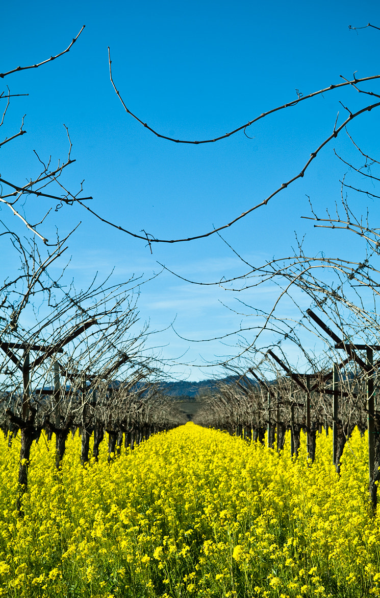 Photograph Mustard blooming in the Napa Valley by Lauren Coleman on 500px