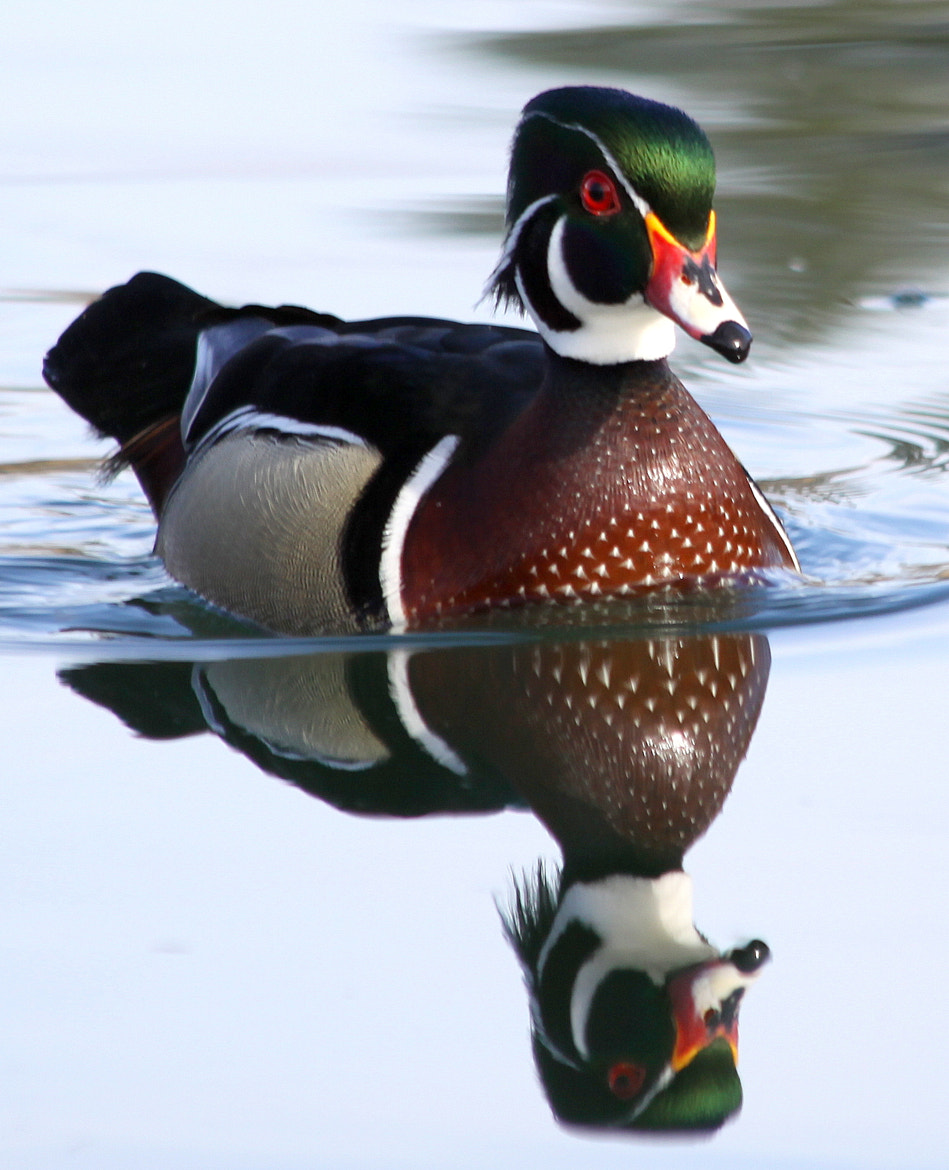 Photograph Wood Duck Reflection by Kevin Fechtelkotter on 500px