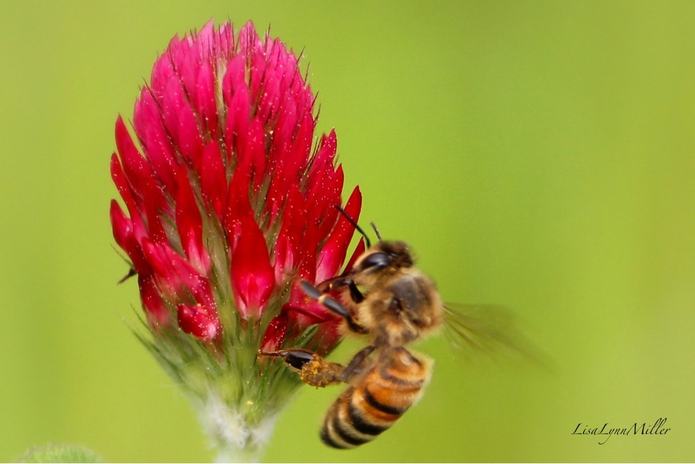 Photograph Crimson Clover for lunch today :) by Lisa Miller on 500px