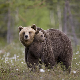 European brown bear and cub by Peter Cairns (Northshots)) on 500px.com