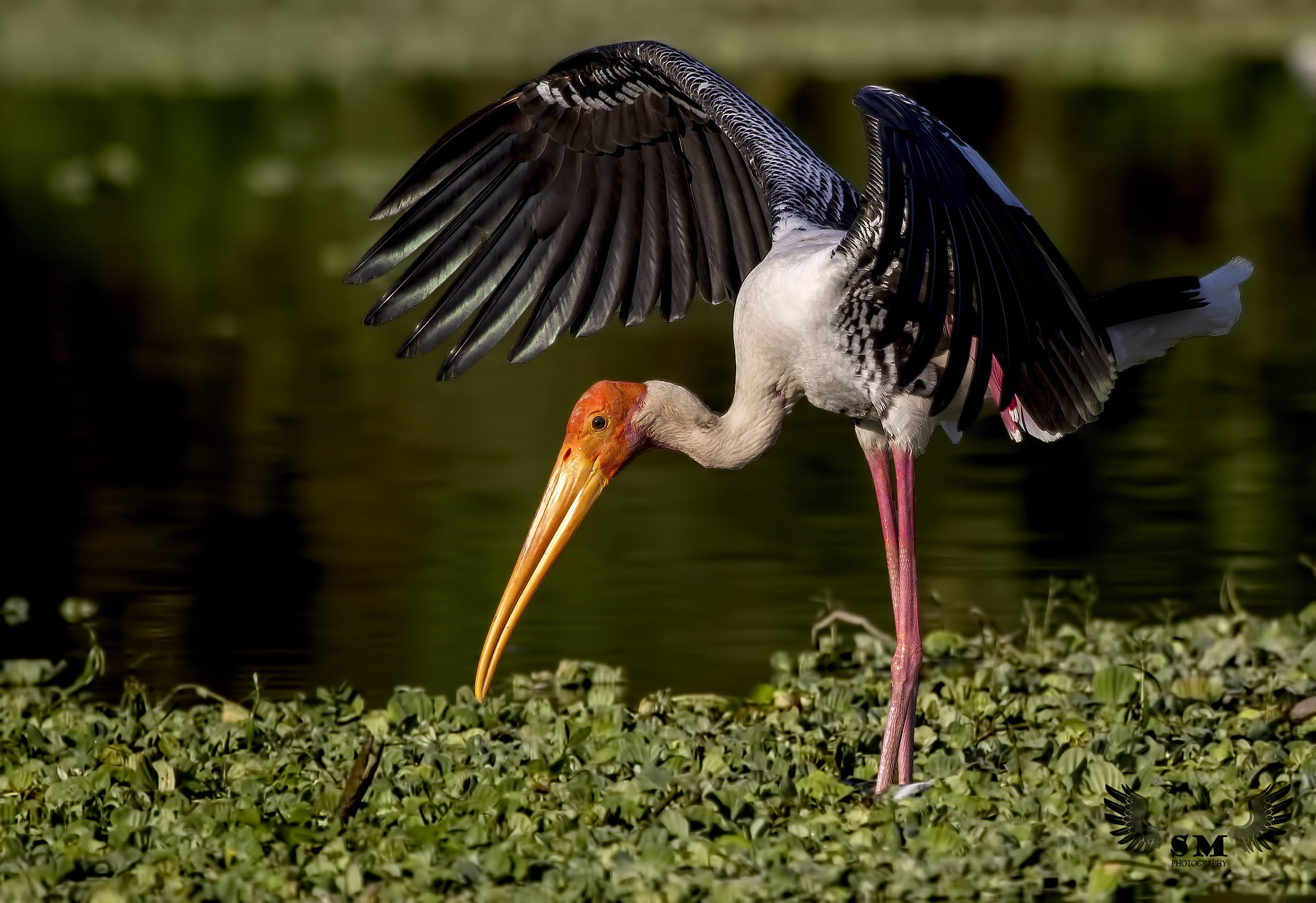 Photograph Painted Stork balancing act.. by Santosh Mulik on 500px