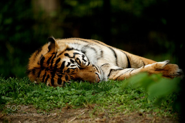 Photograph Sleeping Tiger by Bhaskar Sarkar on 500px