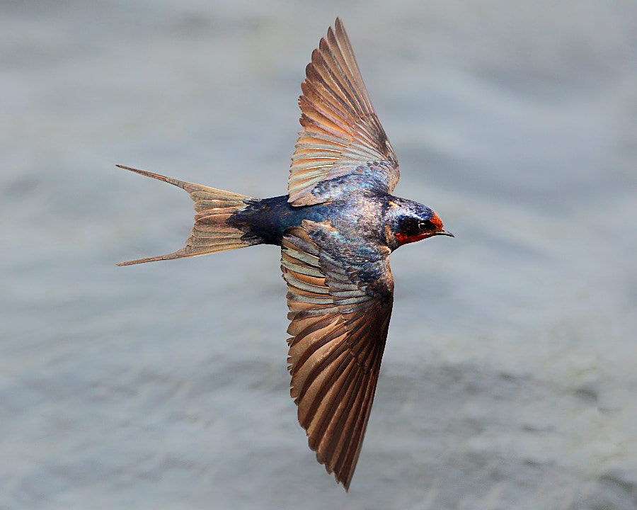 Photograph {Swallow} by Dajan Chiou on 500px