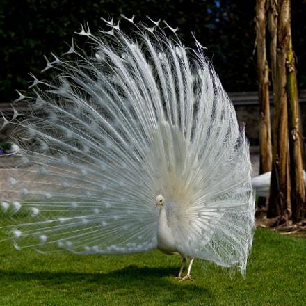 white peacock (02)