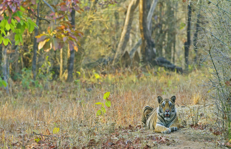 Actually its a Tigress the mother of B2's last 3 offspring.  Taken in Bandhavgargh, India