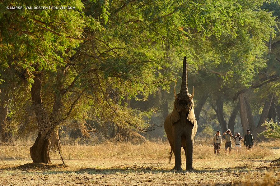Photograph Walking With Giants by Marsel van Oosten on 500px