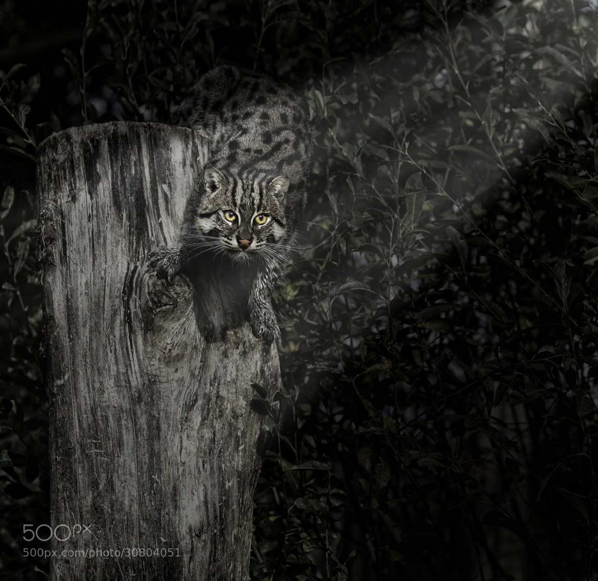 Photograph Fishing Cat in the Spotlight! by Sue Demetriou on 500px