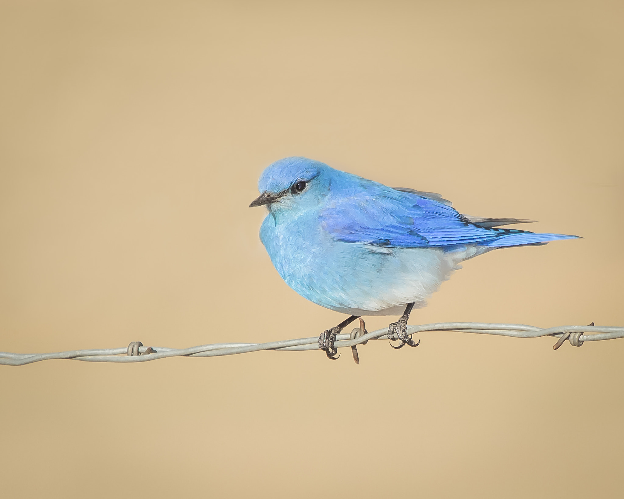 Photograph Mountain Bluebird by Brandon Downing on 500px